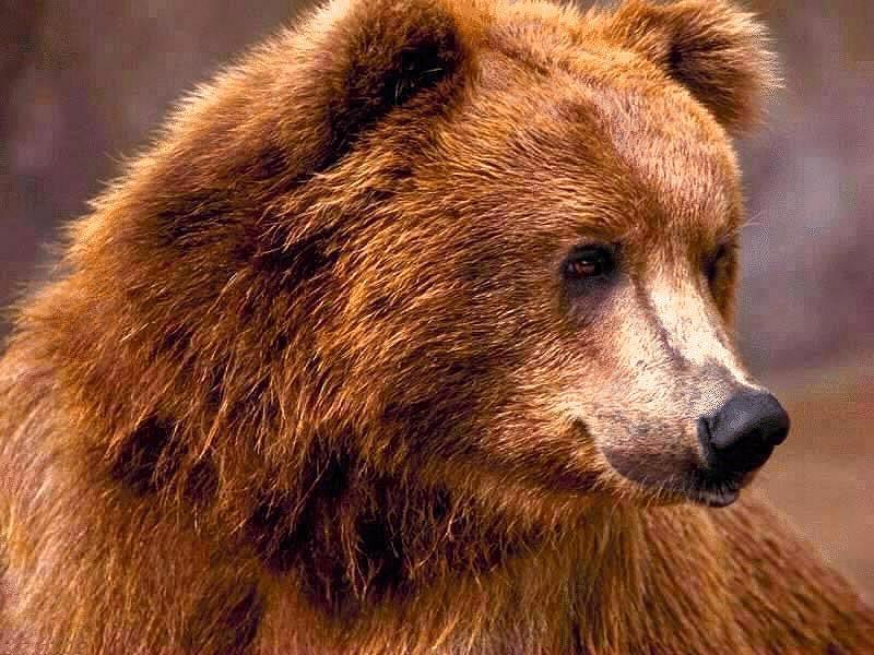 картинки медведя прикольные