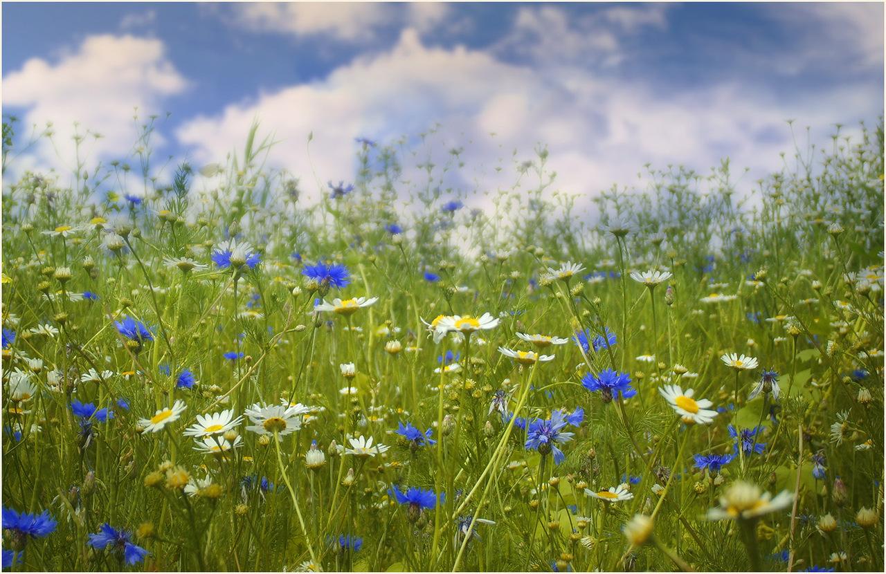 Полевые цветы севера россии фото